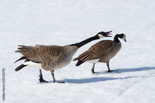 Fotografie, Obraz  Canada geese