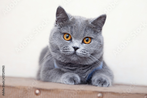 Fotografía  British shorthair cat, domestic cat, neutered cat in a blanket