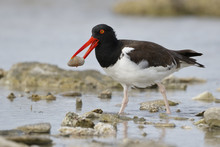 American Oystercatcher Catching A Clam In A Rocky Tidal Pool