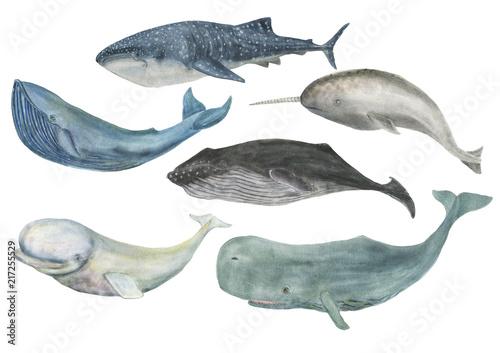 Fototapeta premium Akwarela malarstwo wielorybów na białym tle