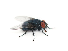 Closeup On The Bluebottle Fly ...