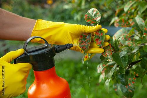 Fotografía Pear leaves in red dot. Gardener sprinkles