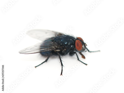 Closeup on the bluebottle fly Calliphora vomitoria isolated on white background