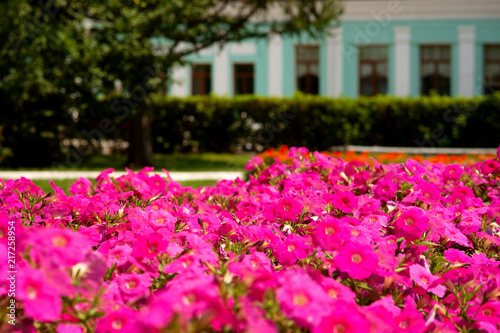 Flowerbed in the summer city park. Bright purple petunia in the urban landscape. Summer flowers in the city.