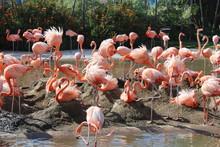 The Flamingos Of San Diego Sea World