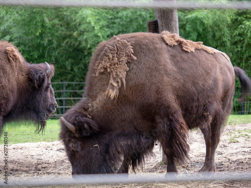 American bison Bison bison with overgrown fur coat grazing inside fence