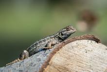 Beautiful Small Lizard On Tree Log