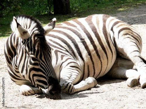 Staande foto Zebra Schlafendes Zebra