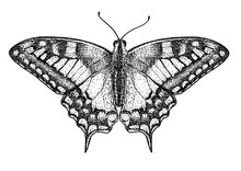 Swallowtail Butterfly (Papilio Machaon) Illustration, Drawing, Engraving, Ink, Line Art, Vector
