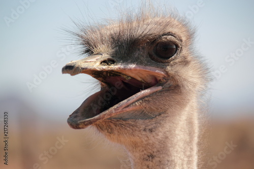 Spoed Foto op Canvas Struisvogel Hot Ostrich
