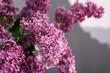 Beautiful blossoming lilac, closeup