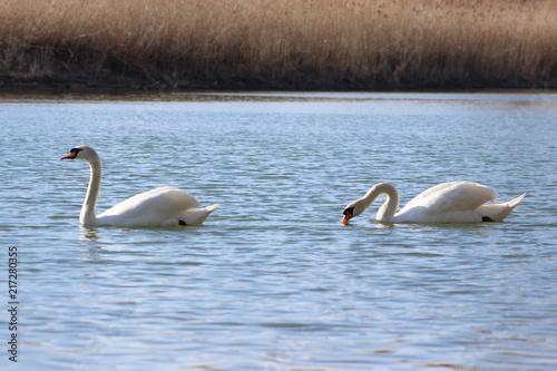 Staande foto Zwaan swan lake wildlife