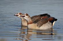 Egyptian Goose Pair Swimming In Harmony