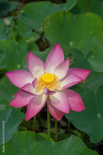 Staande foto Lotusbloem Close up pink lotus flower.