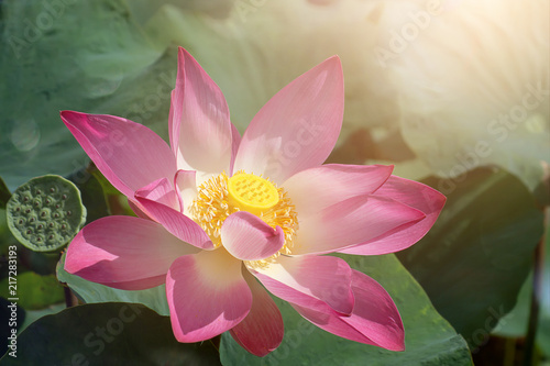 Staande foto Lotusbloem Close up pink lotus flower.