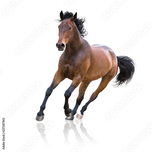 Foto Bay horse runs isolated on the white background