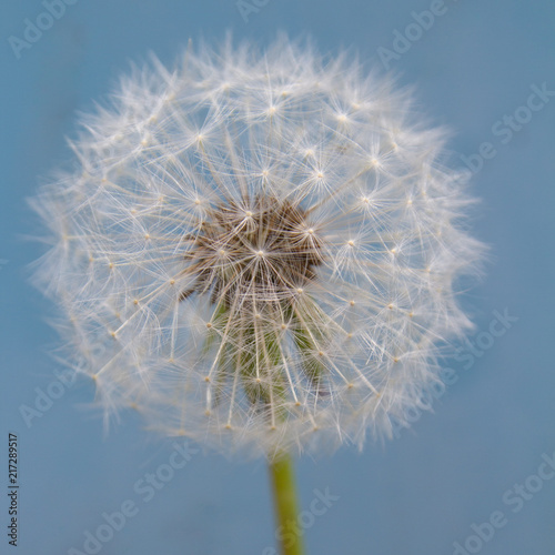 Close up of a dandelion seed head