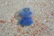 Closeup Of A Blue Jellyfish