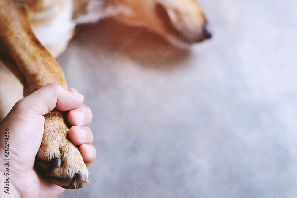Fototapeta owner petting his dog, Hands holding paws dog are taking shake hand together while he is sleeping or resting with closed eyes. empty space for text.