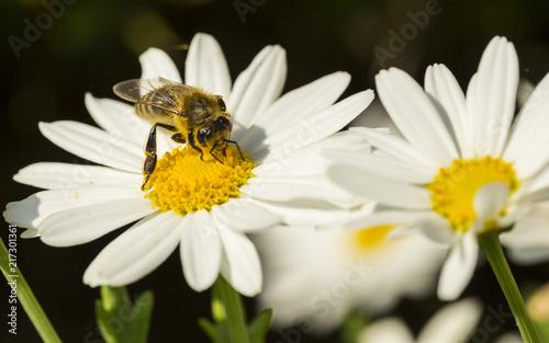 Fototapeta pszczoła na kwiatku-zbiór pyłku | Fototapeta4U.pl
