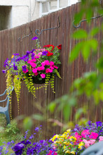 Beautiful Petunias And Busy Lizzy In The Hanging Basket On The Fence
