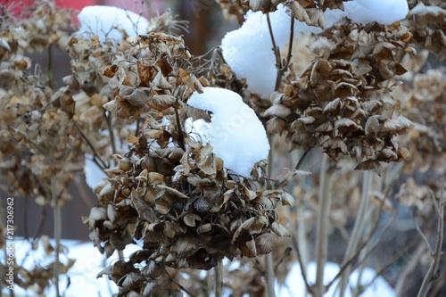 Obraz Hortensie verblüht im Winter mit Schnee - fototapety do salonu