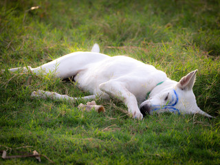 White Dog was Makeup   Blue Lines Lying with a Bone on The Lawn
