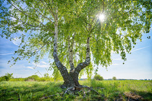 HDR Shot Of A Birch Tree With ...