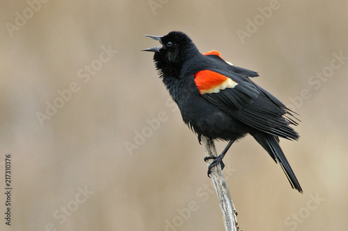 Displaying male Red Winged Blackbird, Agelaius phoeniceus Canvas Print