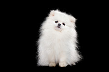 Front View Of A Sitting White Pomeranian Spitz   In A Black Studio
