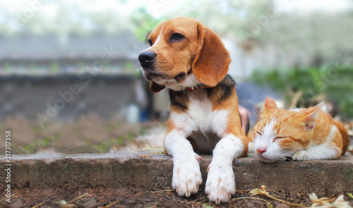 Poster de jardin Chat Beagle dog and brown cat lying together on the footpath.