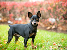 A Black And Red Miniature Pinscher Dog With Natural Uncropped Ears And A Docked Tail