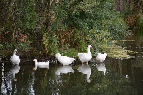 Foto auf Acrylglas Schwan Saint-Herblain - La Carrière