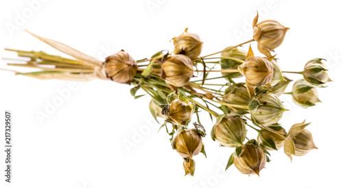 bunch of dry flax plant (Linum usitatissimum) close-up Fototapet
