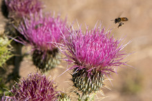 Bee And Russian Thistle