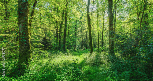 Aluminium Prints Road in forest Landschaft zauberhafter Laubwald mit Fußweg im Frühling - Landscape of enchanting deciduous forest with footpath in spring