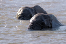 Two African Elephant Indulging In Some Synchronised Water Ballet