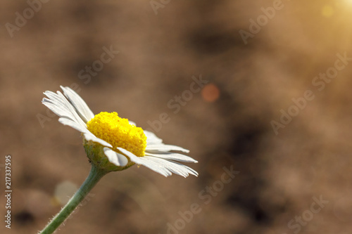 Foto op Canvas Madeliefjes beautiful Daisy closeup with copy space background for letteringм