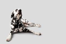 Beautiful Dalmation Dog Lying Down