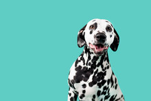 Beautiful Dalmation Dog On Col...