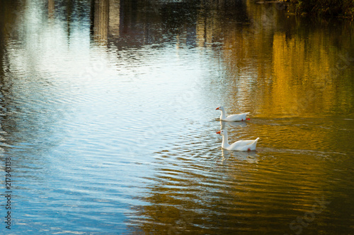 Lake-Geese Poster