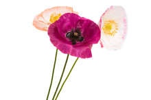 Beautiful Poppies Isolated