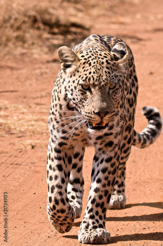 Tuinposter Luipaard Leopard actively moving about hunting in the midday sunshine