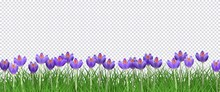 Spring Floral Border With Bright Purple Crocuses On Fresh Green Grass On Transparent Background - Decorative Frame With Beautiful Seasonal Blooms On Greenery In Vector Illustration.