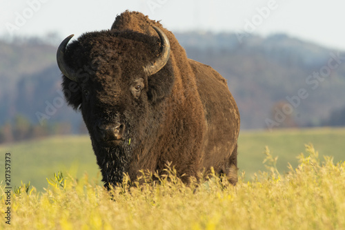 In de dag Bison Bull bison coming over ridge in Custer SP; South Dakota