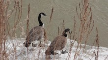 Two Canadian Geese Standing In...