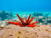 Red Urchin In Coral Reef