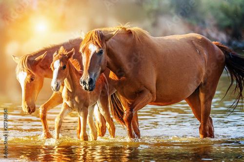 Fotografie, Obraz  Horse Family Walking in Lake at Sunrise