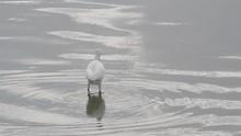 Water Birds (snowy Egret) In T...