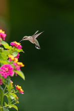 Hummingbird Feeding From A Lan...